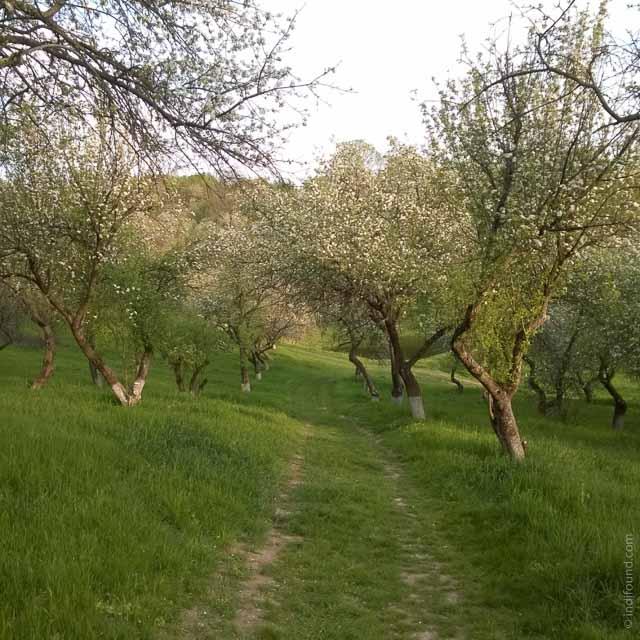 Яблоневая роща