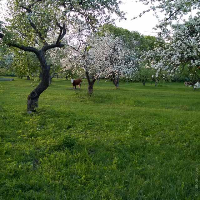 Яблони в цвету, корова срет