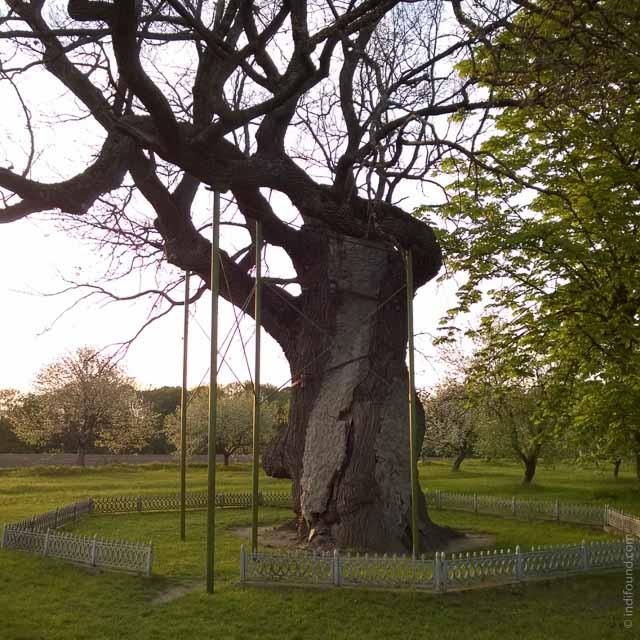 1000 лет дуб, тысячелетний дуб