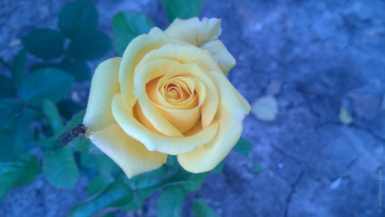 желтая роза, парк космонавтов